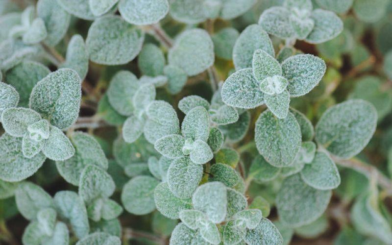 Δίκταμος, το βότανο με τις κρητικές ρίζες