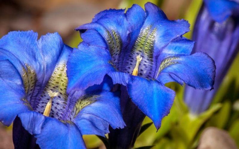 Γεντιανή: Το Φαρμακευτικό Φυτό της Μυθολογίας